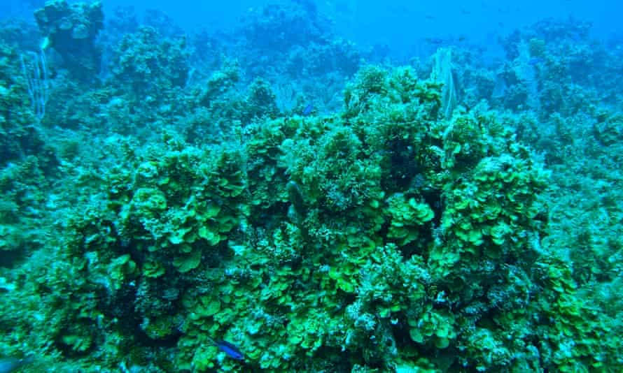 Coral overgrown with algae, Jamaica, 2013