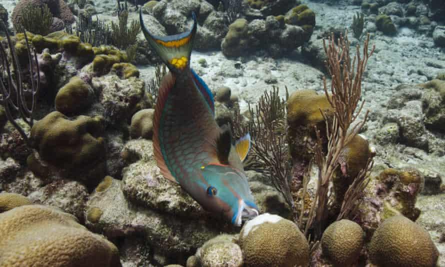 Stoplight Parrotfish (Sparisoma viride) feeding on coral, Bonaire, Netherlands Antilles, Caribbean