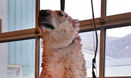 The polar bear that killed Horatio Chapple