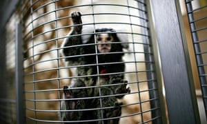 A marmoset in an animal research laboratory