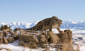 Snow Leopard, Panthera uncia on top of the mountains