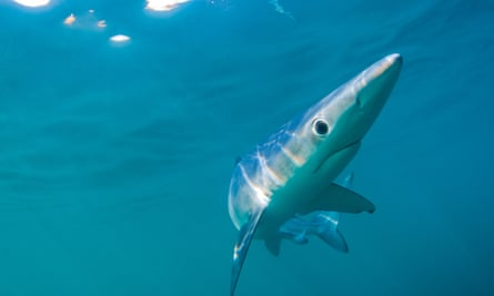 Blue shark off the coast of Cornwall.