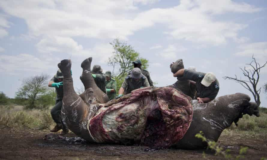 The carcass of one of the two rhinos after it was shot in The Kruger National Park, South Africa.