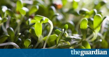 how to grow sprouting seeds mung beans