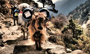 Everest base camp trek: yaks carry supplies