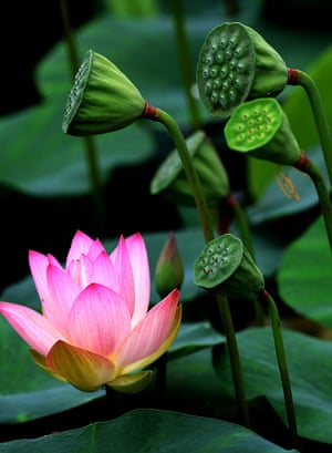 A lotus flower is in full bloom at the Lotus Park in Luoyang, Henan Province, China.