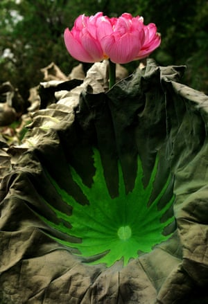 A lotus flower in full bloom on July 12, 2014 at the Lotus Park in Luoyang, Henan Province, China.