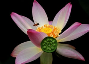 A bee collects honey from a lotus flower at the Lotus Park in Luoyang, Henan Province, China.