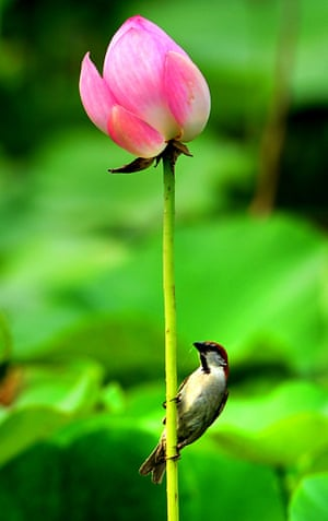 A bird sits on the stem of a lotus flower at the Lotus Park in Luoyang, Henan Province, China.