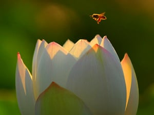 A bee collects honey on a lotus flower at the Lotus Park in Luoyang, Henan Province, China.