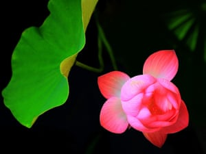 A lotus flower in full bloom at the Lotus Park in Luoyang, Henan Province, China.