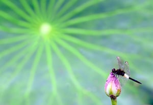 A dragonfly lands on a lotus bud.