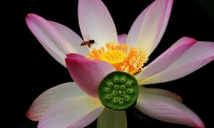 Lotus Flower Season In China Reaches Full Bloom In Pictures Life