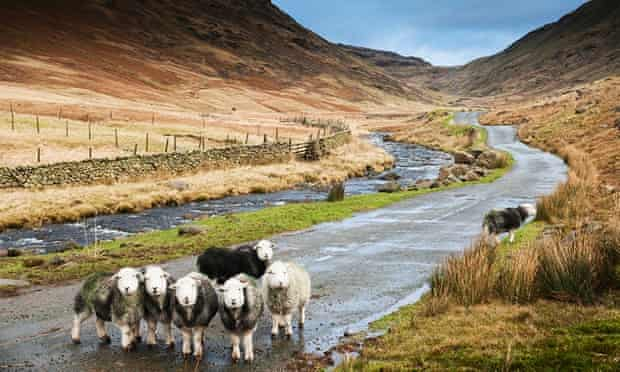 Motorists give way to native Herdwicks at Wrynose Bottom