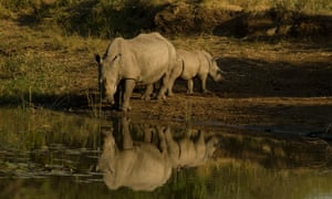A White Rhino drinking at a water hole with her small calf in Imfolozi National Park.