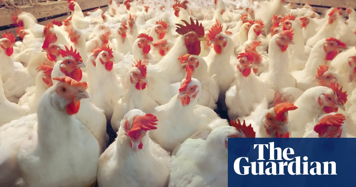 Food Poisoning Scandal How Chicken Spreads Campylobacter Society