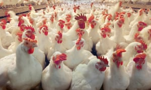 Chickens in a factory farm.