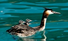 Great Crested Grebe swims with three chicks on its back