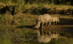 A White Rhino drinking at a water hole with her small calf in Imfolozi National Park.  In South Africa the rhino was brought back from the brink of extinction in the latter half of the 20th century through the efforts of Dr. Ian Players and many others working at Hluhlui/Imfolozi National Park.   From the park's original 432 rhino in 1953, there are now  around 16,000 White Rhino in the wild today.  Now the rhino is disappearing once again due to a huge upsurge in poaching, but the threats also come from the energy sector, which is planning a large new coal mine on the park's boundary that many conservationists feel could be a serious blow to the ongoing efforts to conserve this disappearing species.