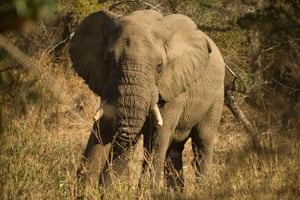 Face to face with an elephant while walking in the wilderness trails of the park.  Personal wildlife experiences are what has made the park so popular with intrepid tourists willing to get out of their cars and experience nature first hand.
