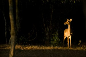 A female Impala on alert in the Park.  Operation Antelope followed Operation Rhino.  These large scale relocation of animals from Hluhlue/Imfolozi to other parks around southern Africa allowed many species to develop new toeholds in places where they had been wiped out.