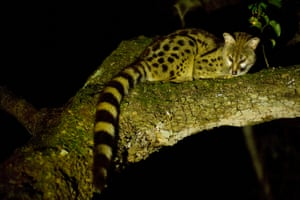 A small-spotted Genet at Hluhlue/Imfolozi National Park.  The diverse ecosystem supports a web of life that is becoming theaterned, according to scientists like Dr. Ian Player.