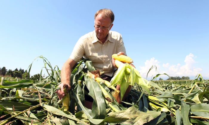 Why NGOs can't be trusted on GMOs | Guardian Sustainable Business