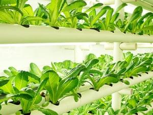 PodPonics lettuce
