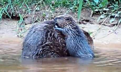 Wild beaver in Devon