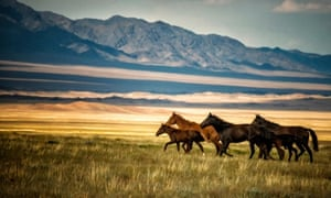Horses gallop over the field in Kazakhstan