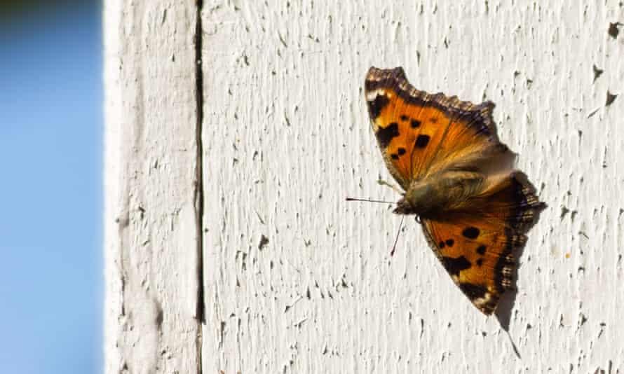 Scarce Tortoiseshell, Nymphalis xanthomelas, butterfly