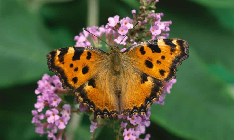 Large Tortoiseshell (Nymphalis polychloros) butterfly,