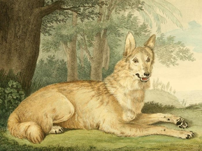 Image result for Last Wolf in England