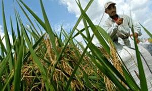 A Salvadoran farmer works in a rice field