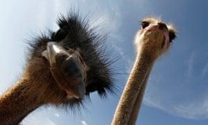 Ostriches look camera