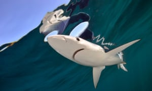 Blue shark in Cornwall water