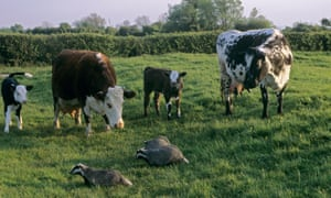 Badgers walk past curious cattle on UK farm