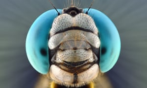 Blue dragonfly, close-up