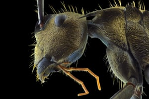 Golden ant head and body