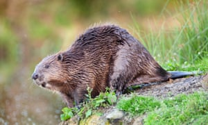 The European beaver, once native to the UK, would be subject to potential eradication measures under the infrastructure bill