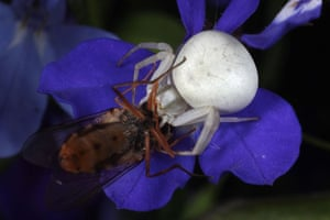 Munch: Crab spider with lunch