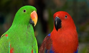 Eclectus Parrot, Eclectus roratus, Female is red and male is green, Jurong Bird Park Singapore