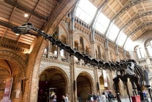 Diplodocus dinosaur at the Natural History Museum, London
