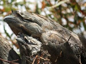 Bush Blitz owl