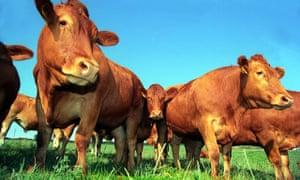 South Devon beef cattle UK