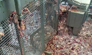 Chicken offal piled on an abattoir floor. Tesco auditors arrived unannounced at dawn at Llangefni