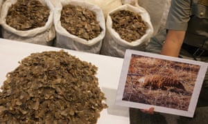 A Hong Kong Customs official holds up a picture of a pangolin next to some of the 2 tons seized pangolin scales displayed at a Hong Kong Customs & Excise Department press conference on 16 June 2014. According to Hong Kong Customs, this is the largest seizure in five years, and is the second such shipment in less than a month.