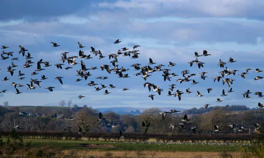 Barnacle geese in flight at Caerlaverock wetland  centre.