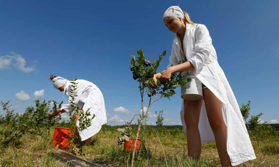 Belarussian students gather blueberries at a state farm near the village of Selishche, southwest of Minsk, on 21 July, 2014.