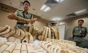 A Hong Kong Customs officer displays seized ivory at the Hong Kong international airport, China, on 10 June 2014.